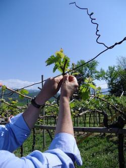 Südtiroler Weinmuseum, Reben binden